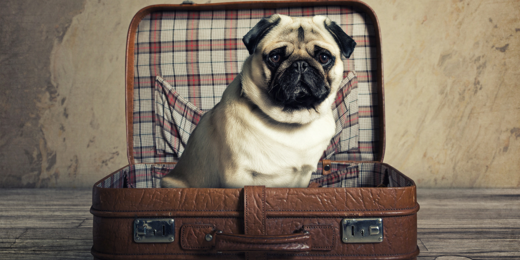 Guest Post - Moving w Dogs, Pug moving in Toronto